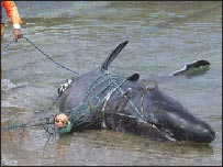 The drowned basking shark found in a fishing net