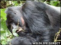 Silverback gorilla named Lilengo (Image: WildlifeDirect)