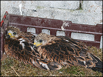 Two of the red kite chicks sent to Ireland