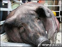 Obese pig (image courtesy of WSPA and EAST)