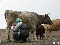 Mongolian farmer milking a cow (Image: ILRI)