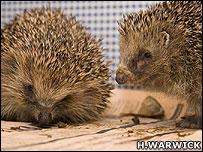 Hedgehogs (Image: Hugh Warwick)
