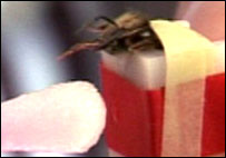 Bee being fed sugar at Inscentinel, a research company seeking funding