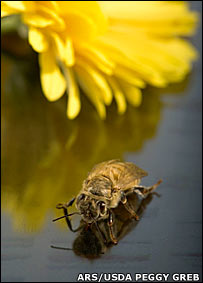 Bee and flower. Image: ARS/USDA Peggy Greb
