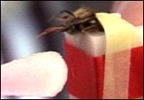 Bee being fed sugar