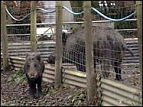 Wild boar at Allan Dedames farm