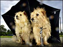 Two dogs under an umbrella