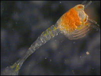 Shrimp larvae (Jon Copley)