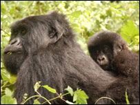 Female and infant mountain gorilla (Image: WildlifeDirect)