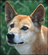 Dingo (SPL)