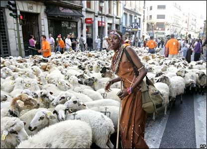 An African woman helps guide a flock of sheep.