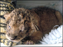 Tejas the lion cub