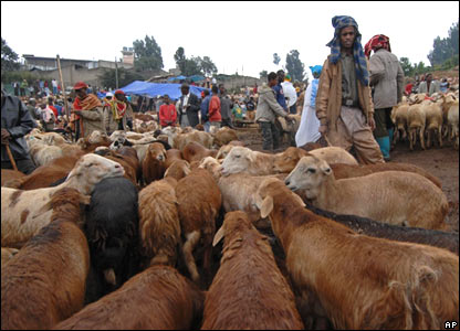 Goats being sold and bought at the market in Addis Ababa