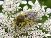 Northern colletes. Picture courtesy of RSPB Scotland
