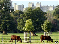 Cattle graze in the grounds of Windsor Great Park