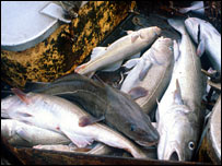 Cod on deck of fishing boat