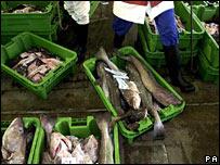 Cod caught in the North Sea