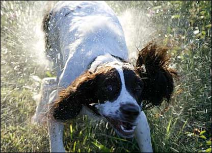 Rico the spaniel shaking water off him