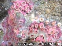 Galapagos coral. Image: Cleveland P Hickman Jr