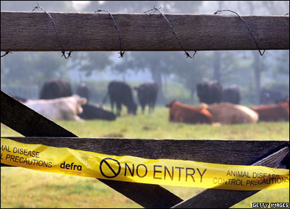 Cattle wait in a field inside a foot and mouth disease protection zone in Send, England.