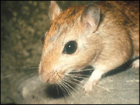 Gerbil - file photo