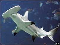 Hammerhead shark (File pic)