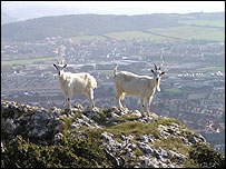 Goats on the Great Orme