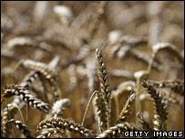 Wheat (file image)