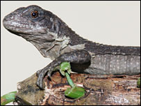 Utila iguana