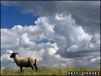 A sheep, Getty