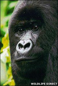 Gorilla (Image: WildlifeDirect)