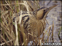 Bittern (Andy Hay/rspb-images.com)