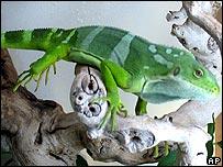 Fiji Island Banded Iguana (Brachylophus fasciatus)
