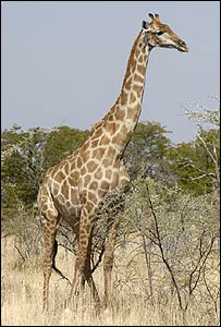 A giraffe in Africa 