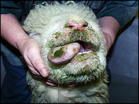 An infected sheep (Institute for Animal Health photo)