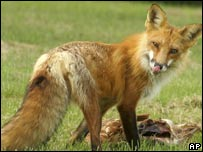 Red fox. File pic