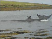 Stranded whale - pic: Sandy MacDonald (BDMLR Medic)