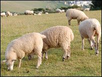 Sheep (library picture)