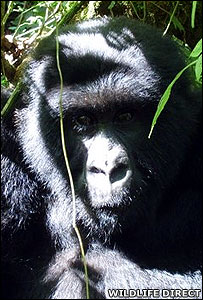 Mambo, a male sub-adult mountain gorilla (Image: WildlifeDirect)
