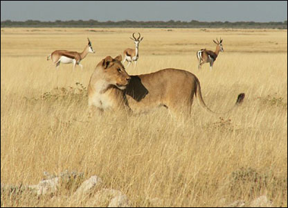 Lion and buck in background in Etosha