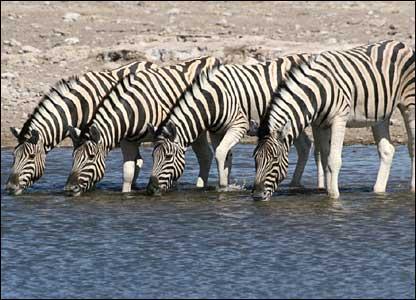 Zebras drinking in Etosha