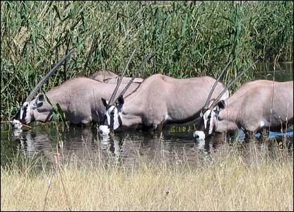 Oryx drinking in Etosha