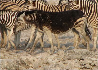 Zebra donkey in Etosha