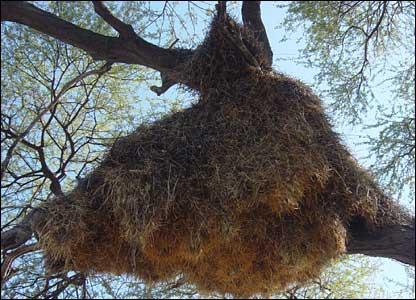 Birds nest in Etosha