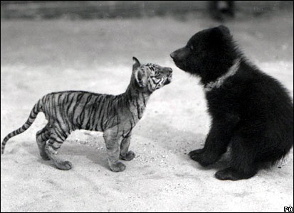 Tiger and bear cub