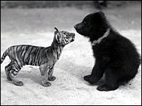 Pictures of a tiny tiger meeting a bear cub from 1914
