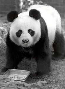 Ming Ming the giant panda
