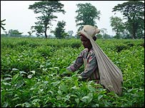 Indian tea worker