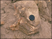 The skull in situ (Copyright: Raymond M. Alf Museum of Palaeontology)