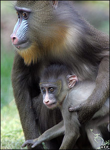 A six-week-old mandrill monkey baby at the Budapest Zoo and Botanic Garden